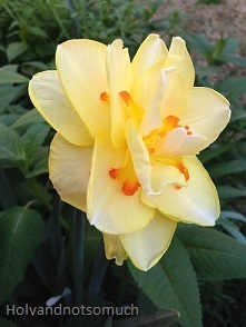 Yellow Daffodil Tiny15